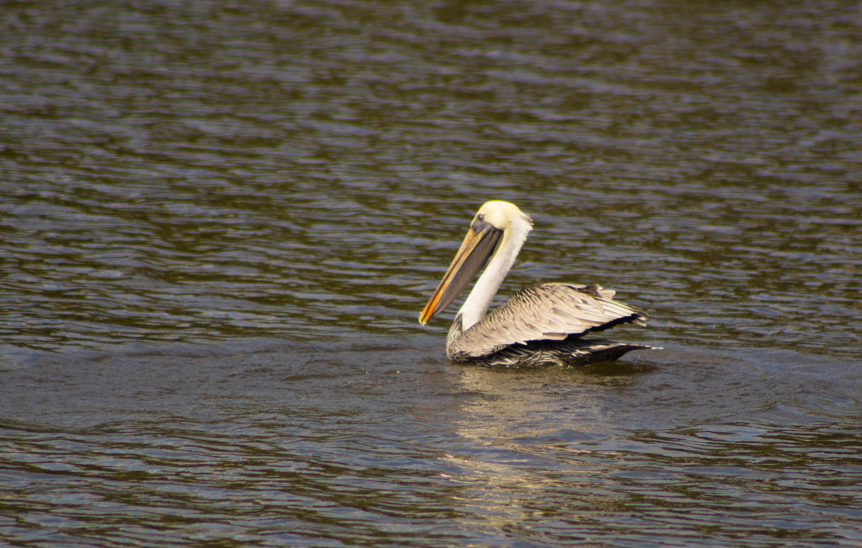 pelican-2566